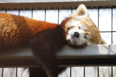 レッサーパンダ爆睡