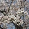 松本も桜の開花はもうすぐか