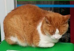 ローソン猫