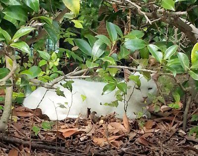 隠れる白猫